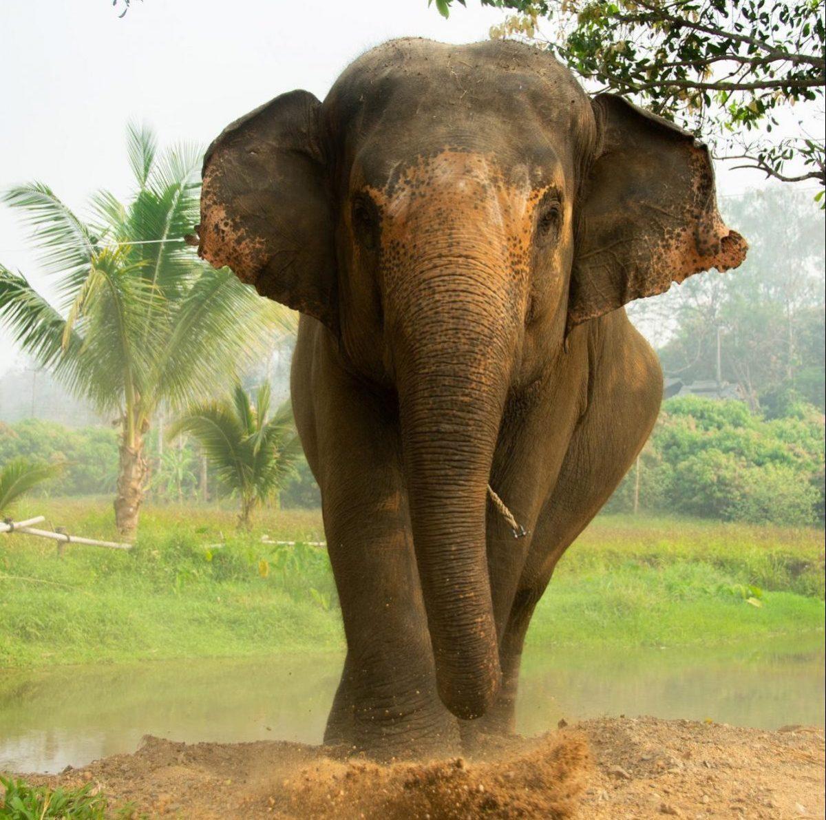 an elephant roaming the Elephant Steps freely