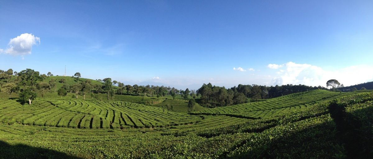 A panoramic view of a tea valley in Bandung, Indonesia