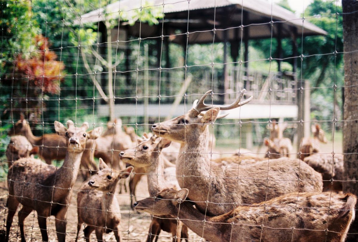A herd of deer gather near the fence of an enclosure in Bandung Zoo, Bandung, Indonesia