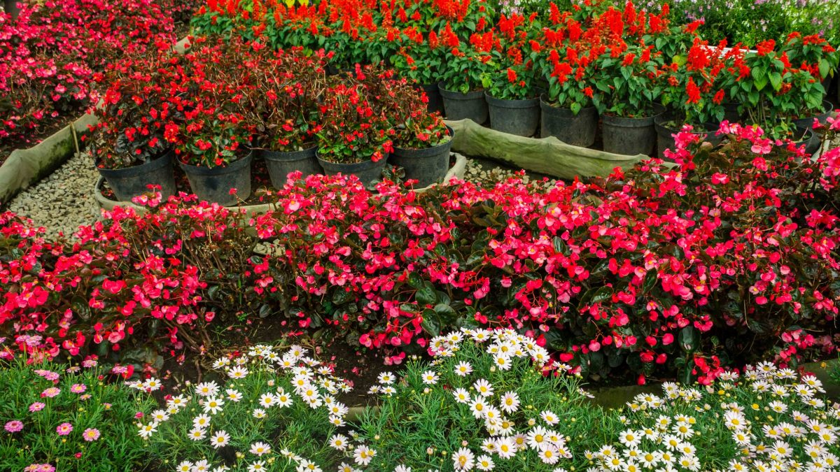 Rows of begonia flowers are lined up in Bandung, Indonesia