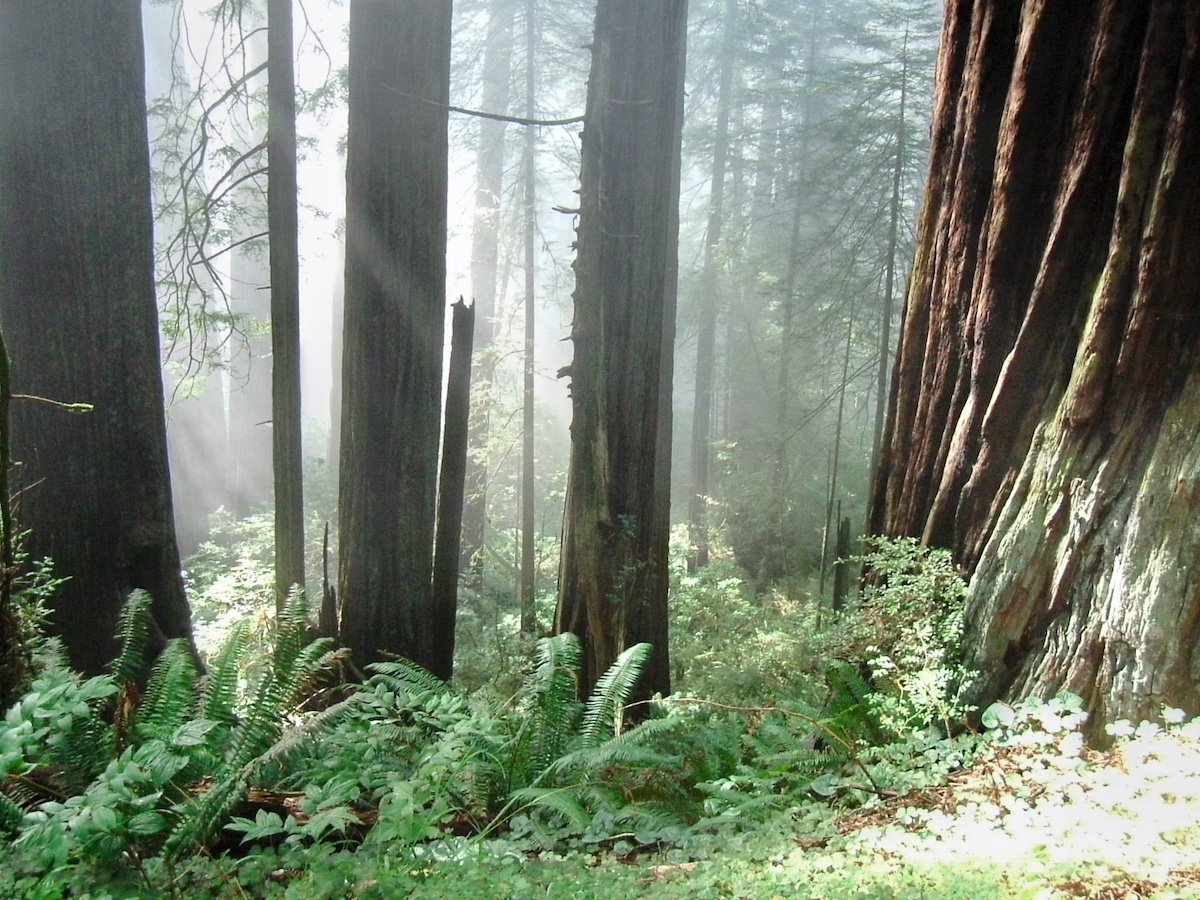 A glimpse of the giant redwoods around Crescent City Redwoods in California