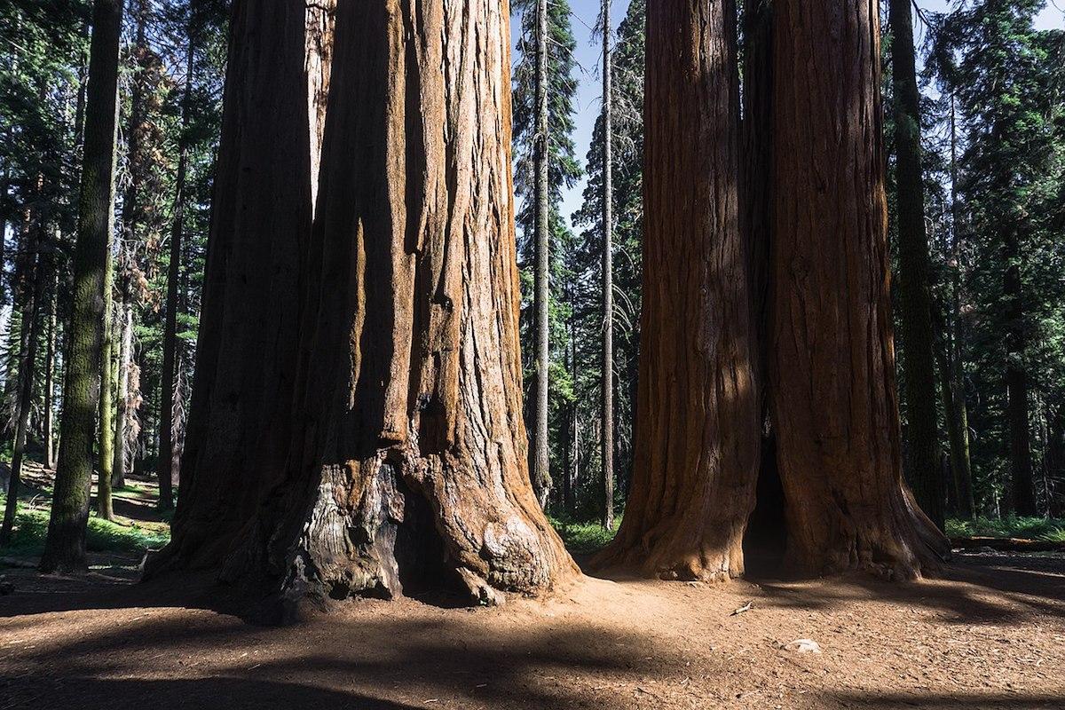 Giant sequoias in Giant Sequoia National Monument