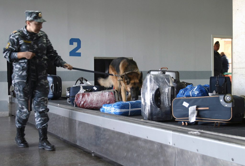A German Shepherd sniffing bags during baggage check in the airport of Rostov-on-Don