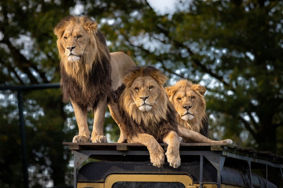 Lions sitting atop a safari vehicle