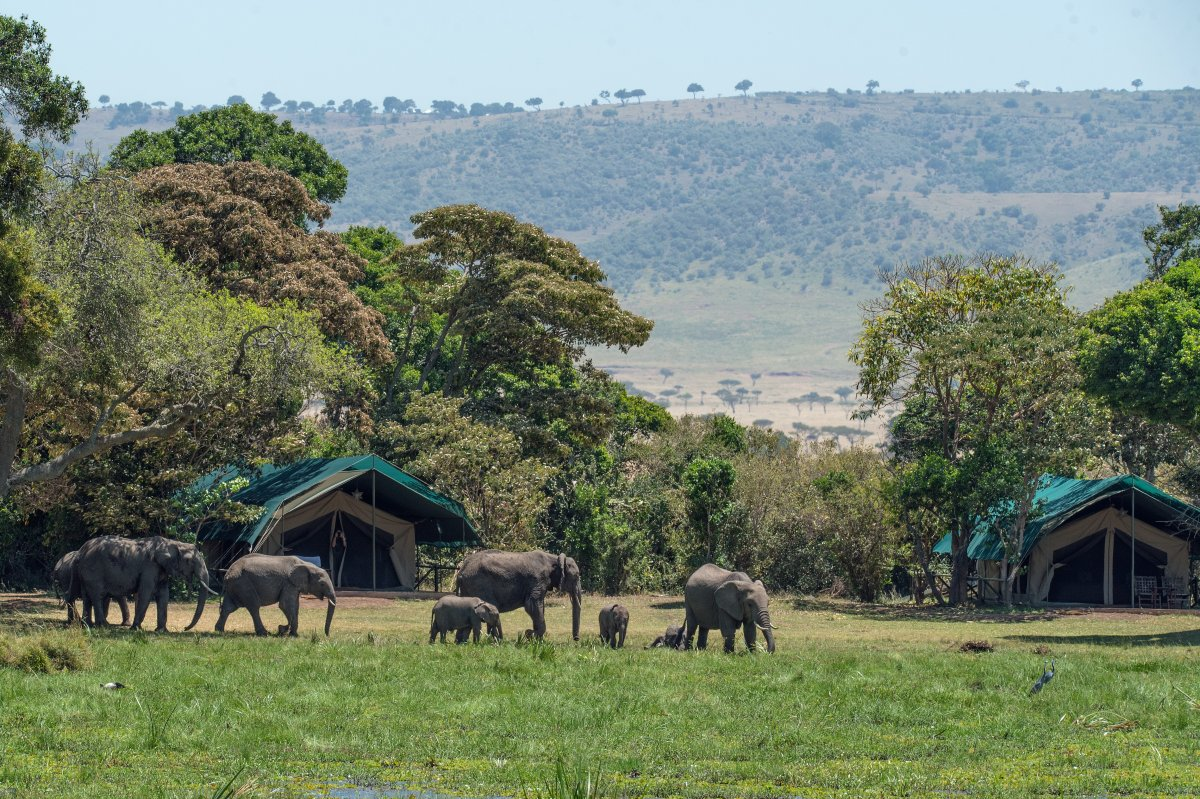 Elephants roam free near a safari campsite